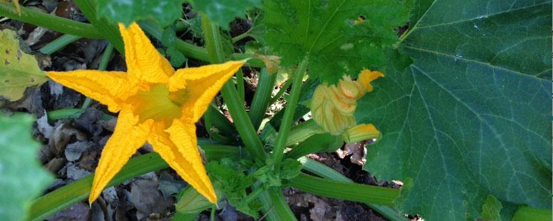flor-de-calabacin-2